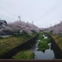 今年も綺麗な桜