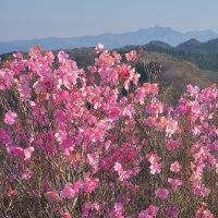 朝一番は山頂アカヤシオから