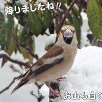 春はどこへ?! 起きたら、雪で白かったです