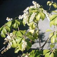 アセビの花が咲く