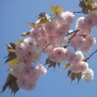 2009年4月18日(2009年お花見-御室仁和寺)