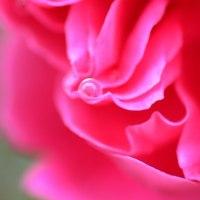 薔薇の、、雫。