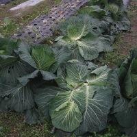 野菜の盗難