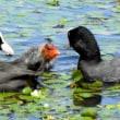 モエレの水鳥たち 7/20 オオバンファミリー2組 海老蔵くんの成長