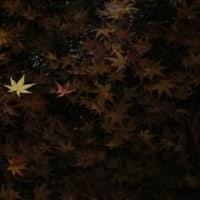 松平郷園地の紅葉散る