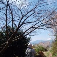 高尾山の桜、間に合いました。