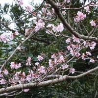 早水公園の桜と梅の花。
