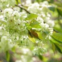 八重桜が見頃です