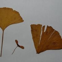 住吉さんのイチョウの葉