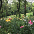 ゆり根は食用を百合の花は園芸用を