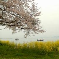 桜と琵琶湖と菜の花と