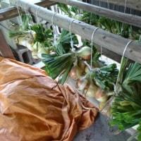 玉ネギの収穫