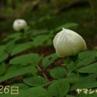 富士山山麓ウォーク6 ヤマシャクヤク
