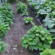 サツマイモの多収穫を目指し、「紅はるか」の芽がやっと出そろい、後は野となれ山となれ…