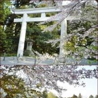 **護国神社の桜**