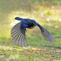 ルリビタキの飛翔