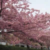 散歩・岡崎・乙川の河津桜