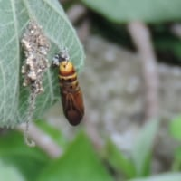 キアシドクガ(黄脚毒蛾)の幼虫(毛虫)・蛹・成虫