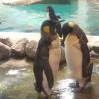 ペンギンただ今換羽中・キング1
