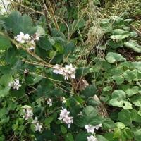 グランベリーの花
