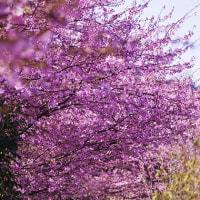 桜の小路  (Vol1427)