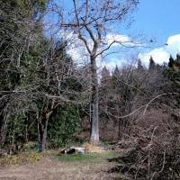 耕作放棄地の桐の木