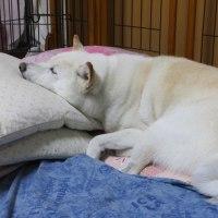 雪のマークの毛布でオヤスミ愛ちゃん。。。