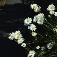 マーガレット咲く小道