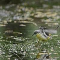 伊良湖岬・富士山山麓の野鳥旅