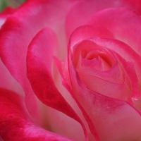 バラ、とにかくバラ
