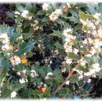 初冬のまちかどに(^^♪甘い香りは似ているが、金木犀より穏やかな感じの「ヒイラギモクセイ(柊木犀)」