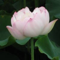 ハスの花・・・