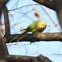 甲高い声のする、樹上を見上げると、ワカケホンセイインコがとまっていた。