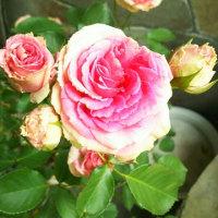 薔薇  ミミエデン