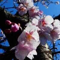『町なかの花』 早咲き