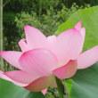 駒木野庭園のハスの花
