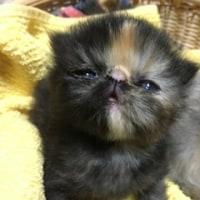初公開から1ヶ月♪動画プラス~♪ペルシャ猫一家の一番小さい子猫ちゃん!ウリ坊とクリ坊(=^ェ^=)