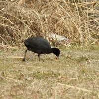 大堀川周辺の野鳥_オオバン(大鷭)二組のカップル