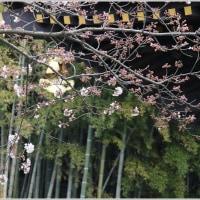 長勝寺&光明寺の桜開花
