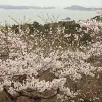 今日も桜で頑張ります(松島)