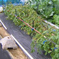 じゃがいも栽培2016年収穫した、暴風対策の優劣が収穫量の差に