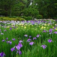 菖蒲 府立植物園