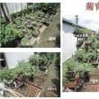 菊の成長状況