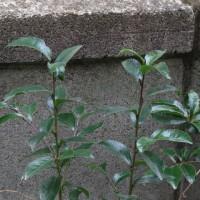 植物の漢字 榊