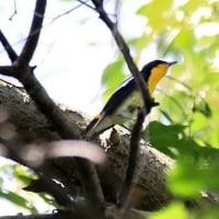 大きな沼の近くの森に「キビタキ」立ち寄る!