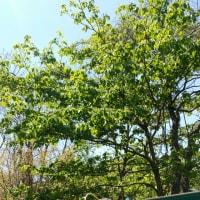 4月26日(水)のつぶやき★ハナミズキが満開、フエンスの外のアカシアの緑の中で鶯がツイーターに、、ブログも若葉に変更した!★
