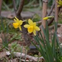 黄色いラッパ水仙