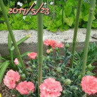 ミニトマト挿し芽とミニバラ