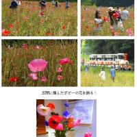 ポピーの花摘み(H29.6.11)