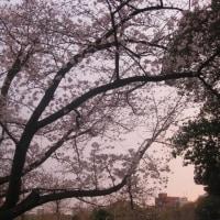 桜・さくら・時々ゴミ回収車